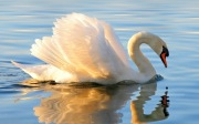 swan - cropped - 9 MB - shutterstock_61353832 copy 2